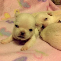 Available Puppies , Celtic Pugs Johnstown PA